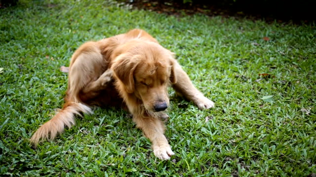 Golden Retriever scratching itchy skin on grass