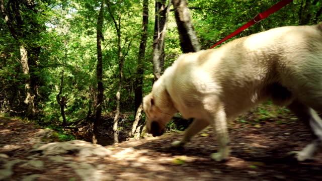 golden retriever promenera i skogen - hund skog bildbanksvideor och videomaterial från bakom kulisserna