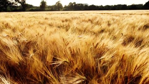 spighe mature dorate di grano che si muovono dal vento della brezza in luce solare intensa. full hd 1080p slowmo slow motion - campo video stock e b–roll