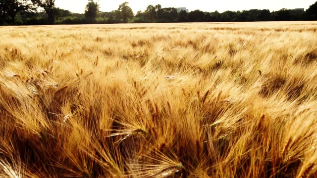 golden ripe ears of wheat moving by the breeze wind in bright sun light. full hd 1080p slowmo slow motion - orzo video stock e b–roll