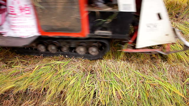 golden ripe rice in the field - cespuglio tropicale video stock e b–roll