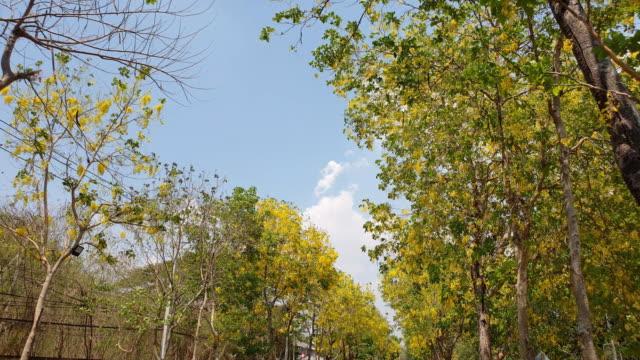 gyllene dusch träd blommande. - pollen bildbanksvideor och videomaterial från bakom kulisserna