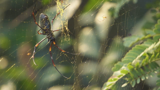 Golden silk orb-weaver crawling at her web. beautiful light. little spider crawling nearby.