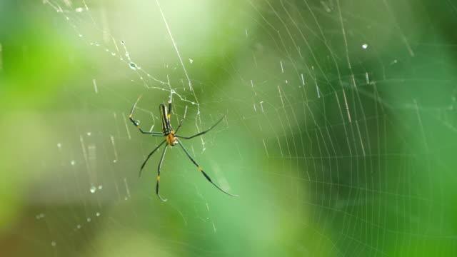 gyllene siden klot-weaver spindel flyttar på webben - spindel arachnid bildbanksvideor och videomaterial från bakom kulisserna