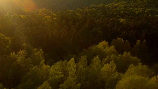 AERIAL: Golden sunbeams shining on lush green treetops in mixed forest at sunset video