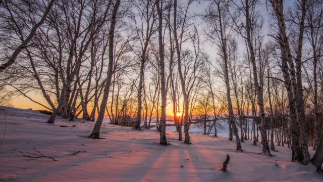 Golden sunlight between trees in birch grove during sunset on winter evening video