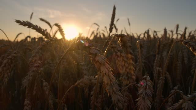 vidéos et rushes de coucher de soleil d'or au-dessus du champ de blé. oreilles de blé d'or close up. beau paysage de coucher de soleil de nature. paysage rural sous la lumière du soleil brillante. plan rapproché au ralenti. paysage summer field sun sky nature. - tige d'une plante