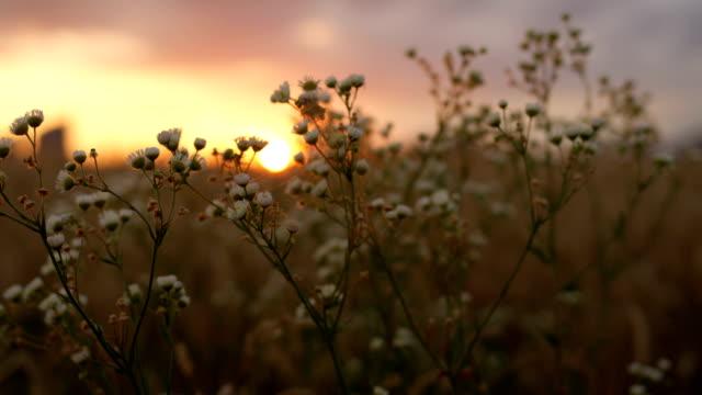 vídeos y material grabado en eventos de stock de closeup dof: oro sol puesta del sol brillando a través de flores de manzanilla blanco hermoso - manzanilla