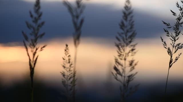 Golden Sunset Golden Sunset plant part stock videos & royalty-free footage