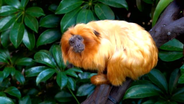 goldene tamarin - bedrohte tierart stock-videos und b-roll-filmmaterial