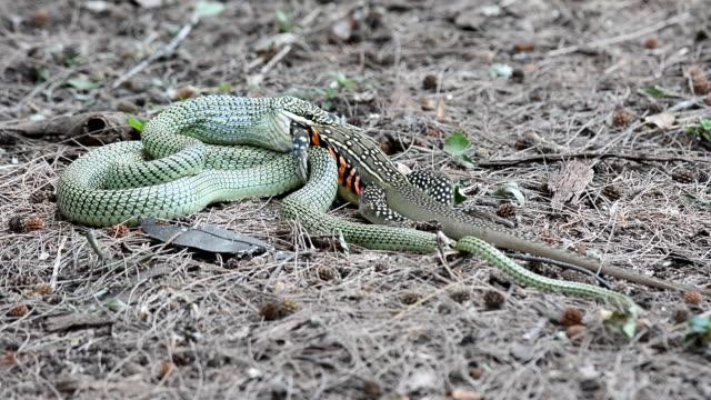 Golden Tree Snake video