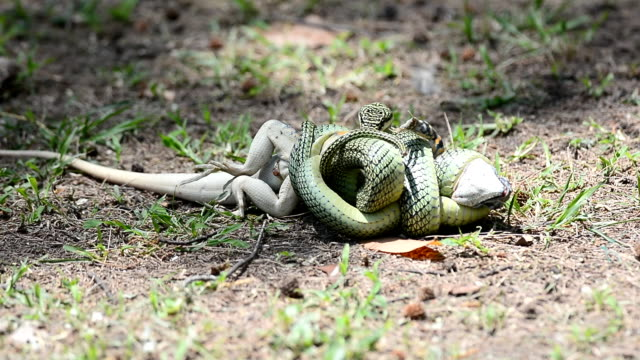 Golden serpiente arborícola - vídeo
