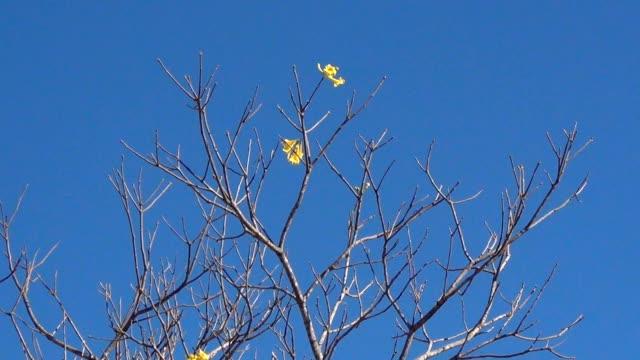 goldener trompetenbaum letzte blumen gegen blauen himmel. - laub winter stock-videos und b-roll-filmmaterial