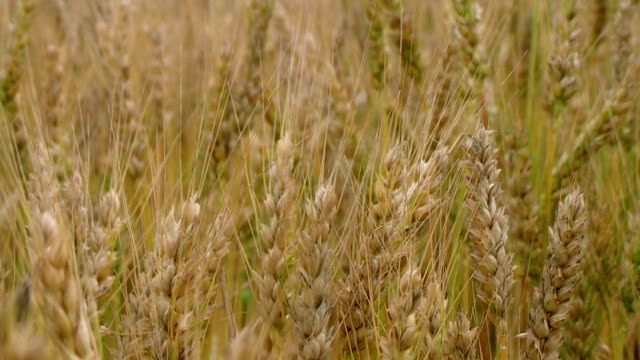 Golden Wheat Field 02 video