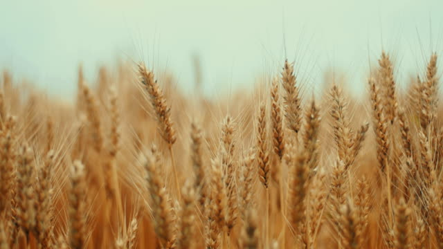 golden wheat field and sunny day - orzo video stock e b–roll