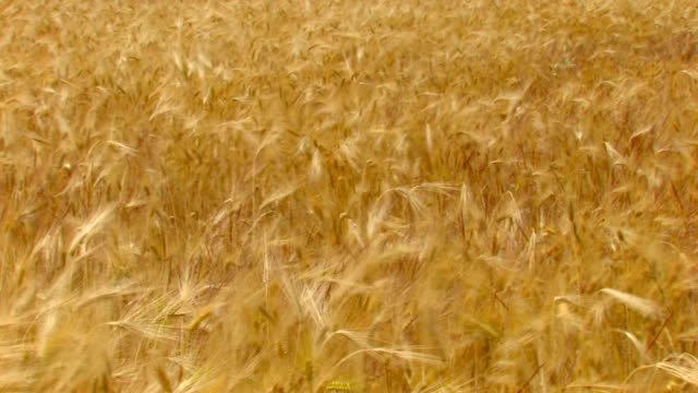 golden wheat field, moving from the wind video