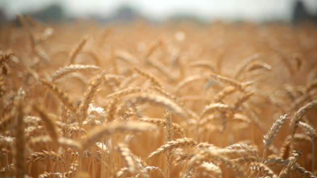 Golden Wheat Field with a Blue Sky video
