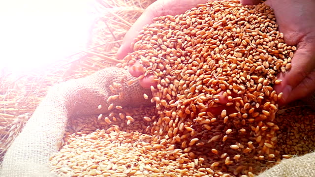 Golden Wheat Grains Harvest close-up of farmers hands holding wheat grains. Takes a lot of golden wheat grains from a sack, slow motion, sunset light, flare light handful stock videos & royalty-free footage