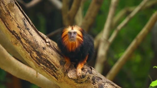 vídeos y material grabado en eventos de stock de tití león de cabeza dorada en el árbol. - animal
