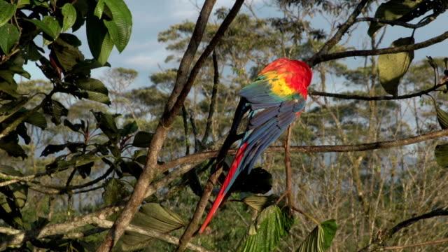 Golden-tailed Sapphire female hummingbird perching video
