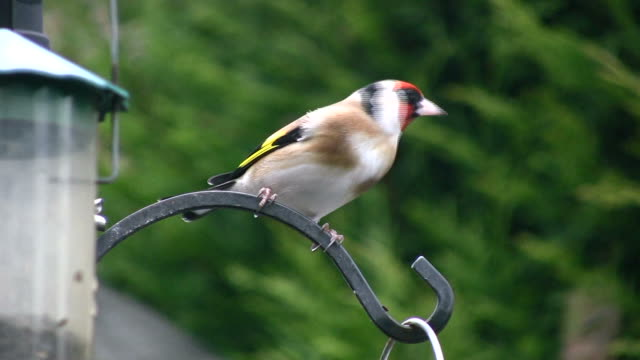 Goldfinch video