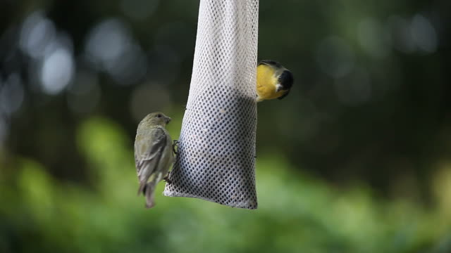 goldfinches fighting video