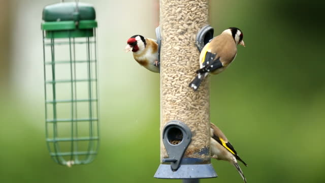 Goldfinches on a bird feeder video