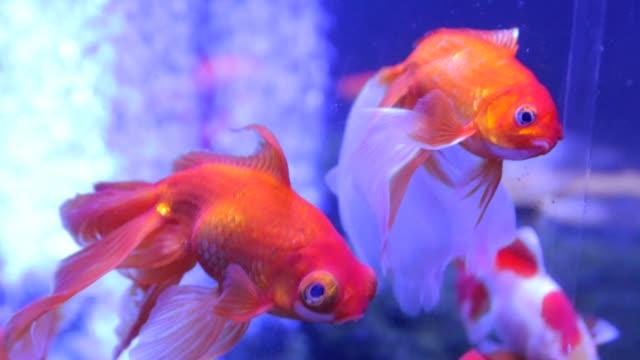 金魚大眼睛異國情調影片