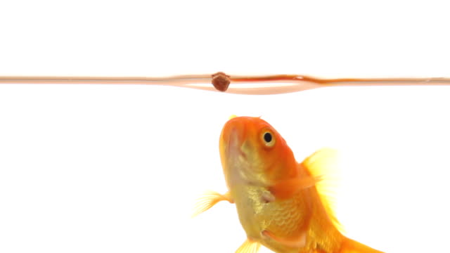 Goldfish catches food video