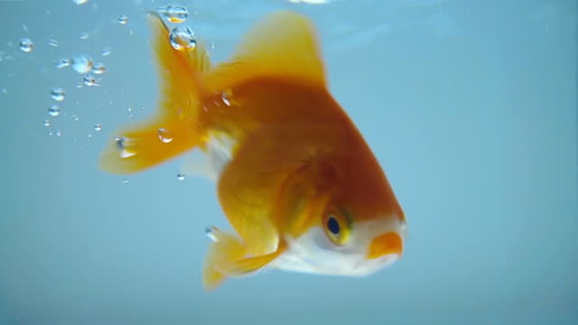 goldfish falls into the aquarium blue water and many bubbles float to a surface - один объект стоковые видео и кадры b-roll