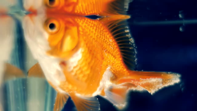 Goldfish floats in the aquarium in closeup The goldfish floats near the surface of the water in the aquarium and greedily grabs the air with the mouth. Macro. Closeup. Shallow depth of field freshwater stock videos & royalty-free footage
