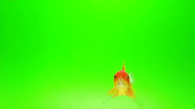 Goldfish green screen background