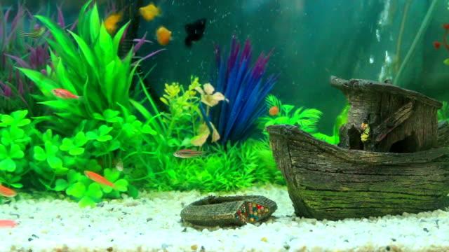 goldfisch in süßwasser-aquarium mit grün bepflanzt tropischen wunderschönen - süßwasserfisch stock-videos und b-roll-filmmaterial