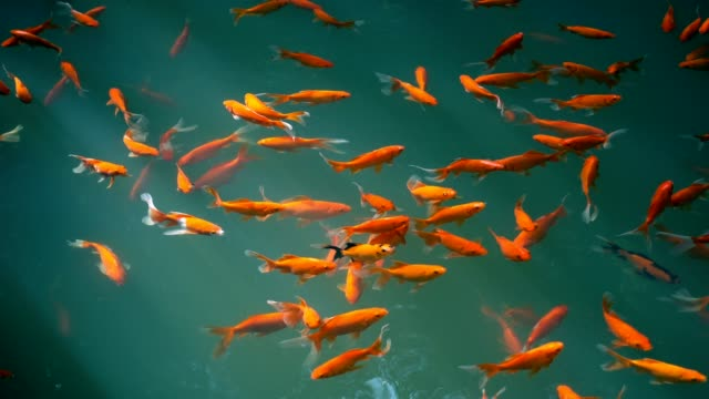 goldfish in water - pond stock videos & royalty-free footage
