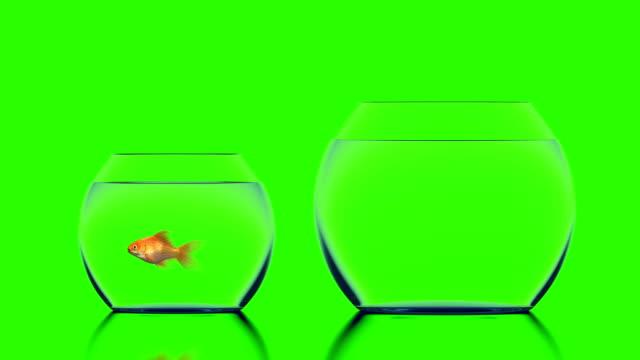 Goldfish Jumps into a Bigger Aquarium