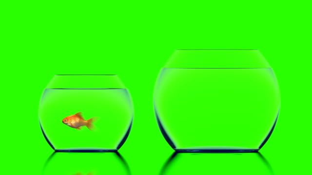 Goldfish Jumps into a Bigger Aquarium Goldfish Jumps into a Bigger Aquarium, Beautiful 3d Animation on a Green Background, Perfect for Using Your Background. 4K Ultra HD 3840x2160 jumping stock videos & royalty-free footage