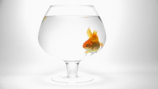 goldfish swimming in an aquarium video