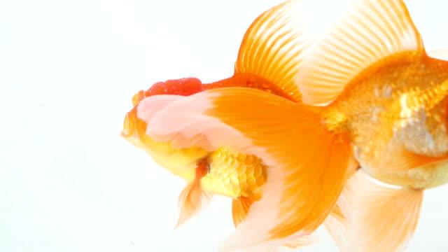 金魚で泳ぐ魚のボウル - 2匹点の映像素材/bロール