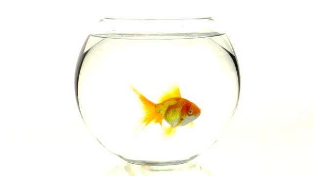 Goldfish swimming in small aquarium
