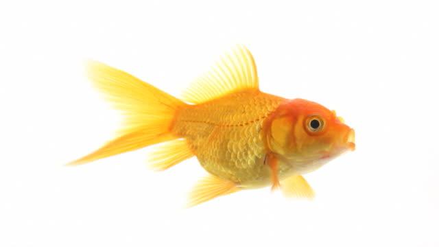 vidéos et rushes de poisson rouge natation-isolé, bouclables - nageoire caudale