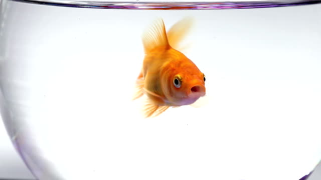 Goldfish swimming, mouth moving video