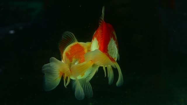 Goldfish swimming on black background Goldfish swimming on black background freshwater stock videos & royalty-free footage