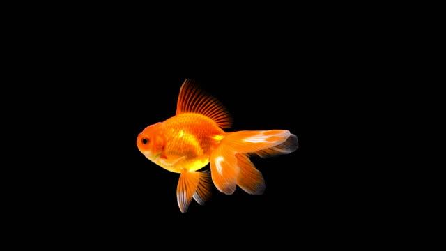 Goldfish swimming on black background