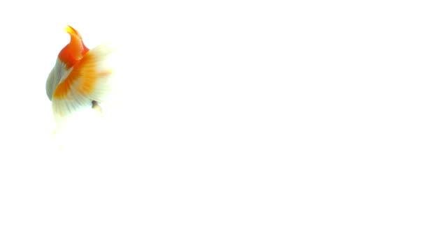 beyaz arka planda yüzen japon balığı - i̇htiyoloji stok videoları ve detay görüntü çekimi