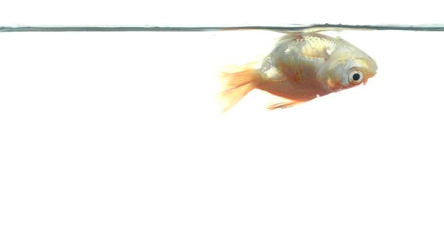 goldfish - ölü stok videoları ve detay görüntü çekimi