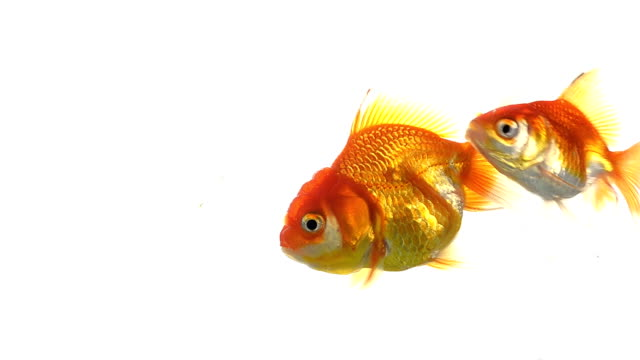 Goldfish Oranda goldfish freshwater stock videos & royalty-free footage