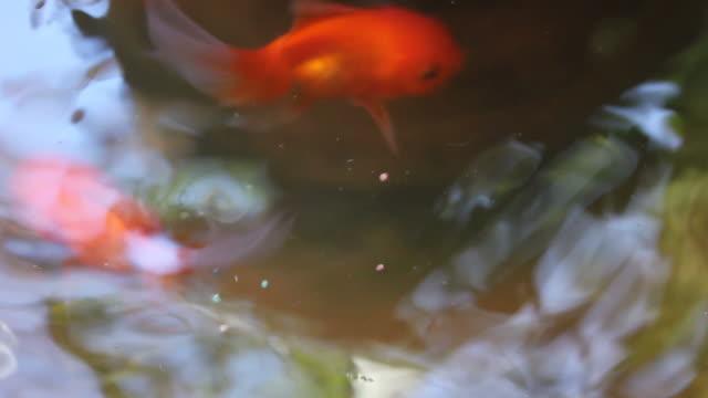 goldfish Feeding the goldfish freshwater stock videos & royalty-free footage