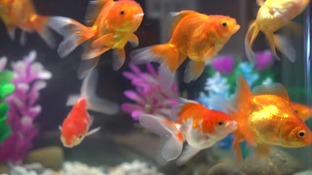 guldfisk - akvarium byggnad för djur i fångenskap bildbanksvideor och videomaterial från bakom kulisserna