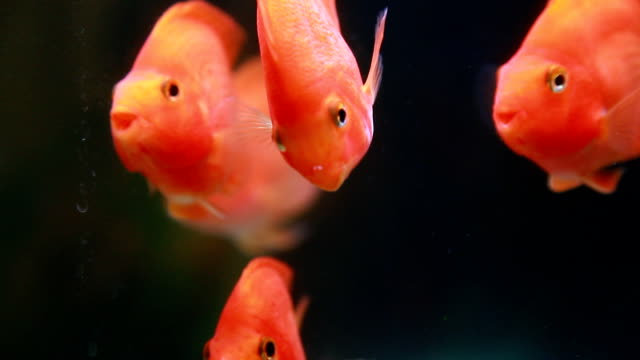 goldfishes goldfishes swimming in the tank. freshwater stock videos & royalty-free footage