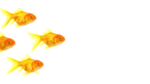 Golgfishes swim video